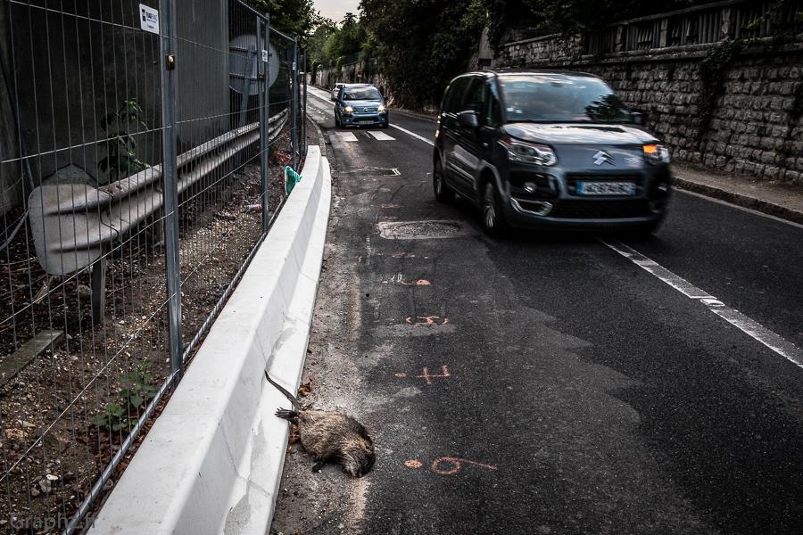 Chatou - cadavre de ragondin, renversé par une voiture.